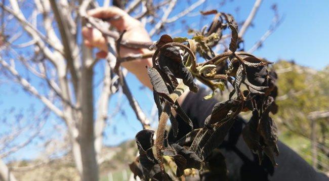 Yaşanan Don Ceviz Ağaçlarına Zarar Verdi