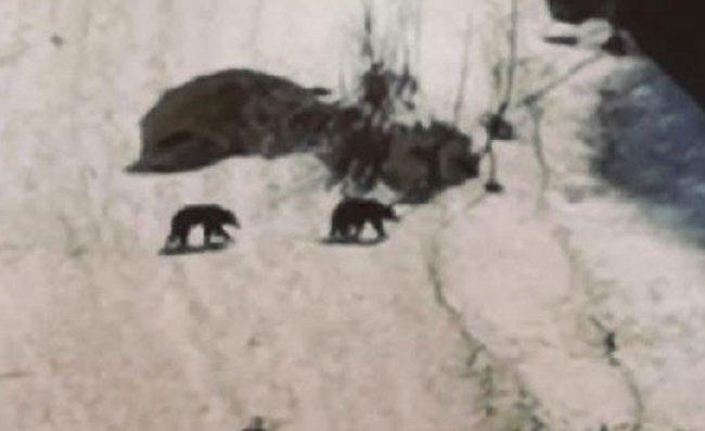 Boz Ayılar, Ayder Yaylası'na İndi