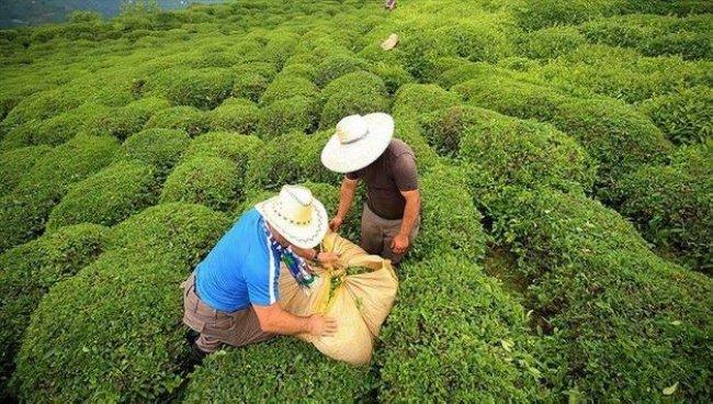 Rize, 2020'de çay ihracatından 8,9 milyon dolar kazandı